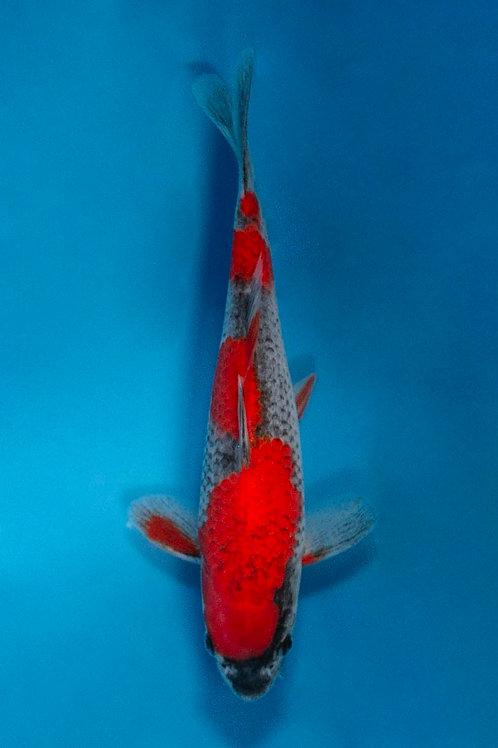 20cm Goshiki (Ikarashi Ozumi)