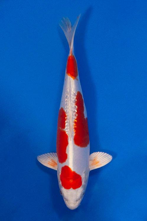 32cm Kikusui (Aokiya)