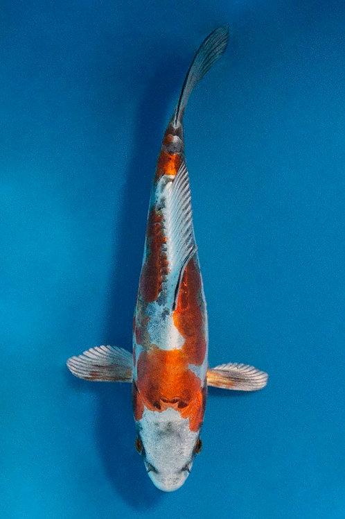 16cm Kikokuryu (Aokiya)