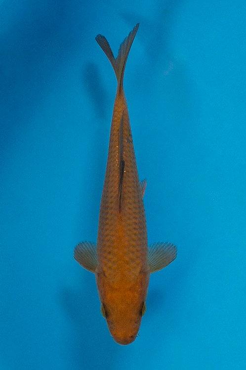 15cm Chagoi (Okawa)
