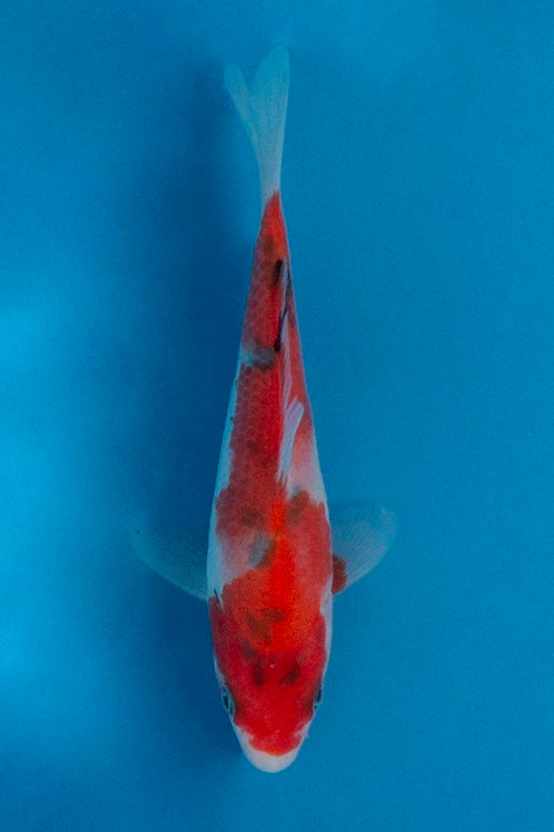14cm Sanke (Okawa)