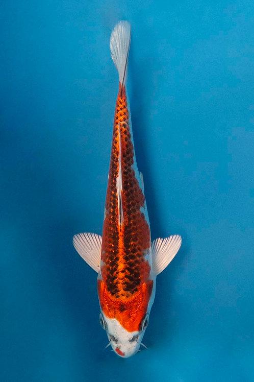 16cm Kujaku (Tanaka)