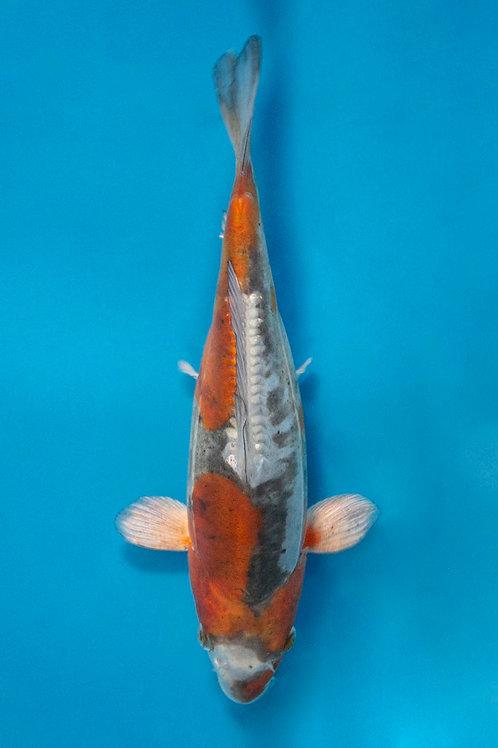 25cm Doitsu Ochiba (Kase)