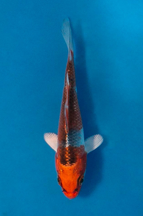10cm Kujaku (Otsuka)