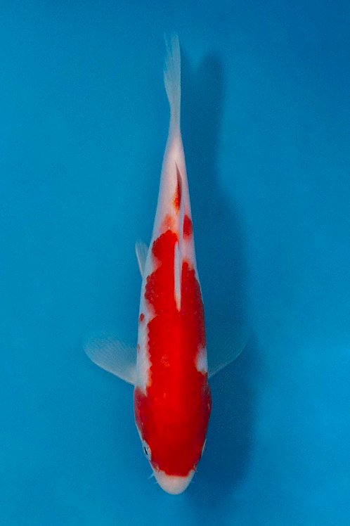 15cm Kohaku (Aokiya)