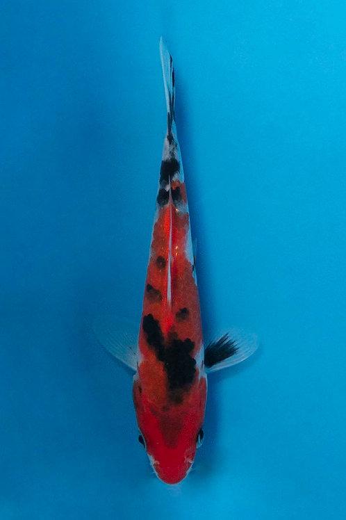 15cm Sanke (Hirasawa)