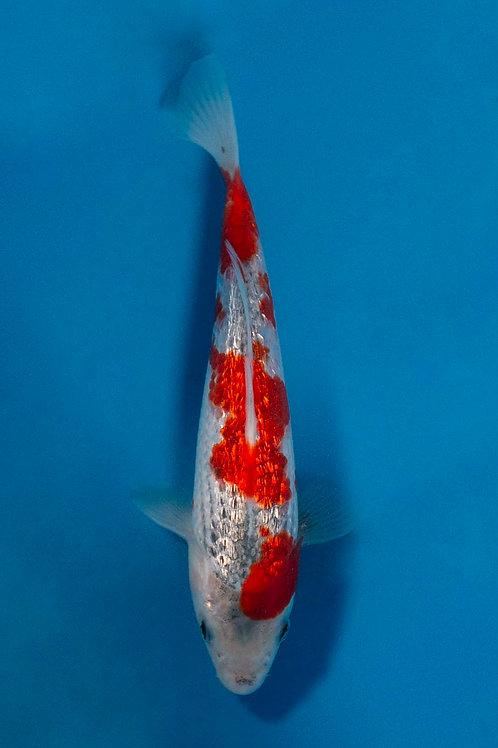 20cm Ginrin Goshiki (Kowakami)