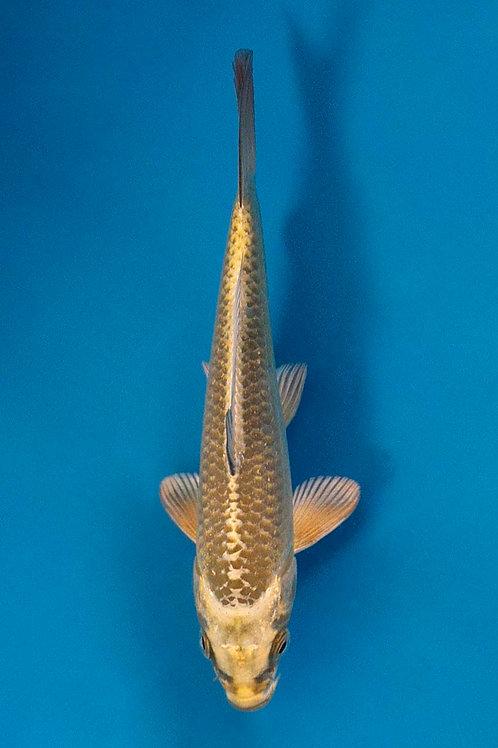 15cm Mukashi Ogon (Maruhiro)