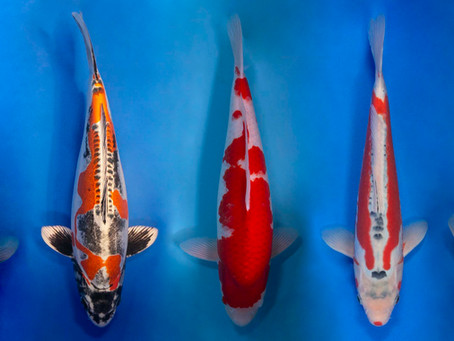 Why Do Koi Change Colours and Patterns?