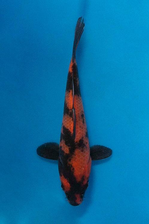 15cm Hi Utsuri (Hirasawa)
