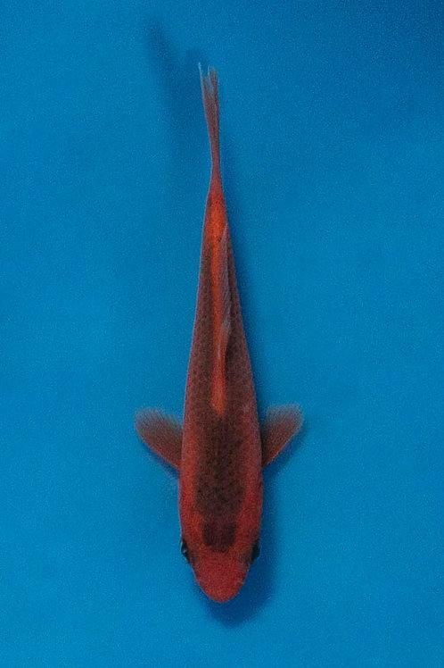 10cm Aka Matsuba (Otsuka)