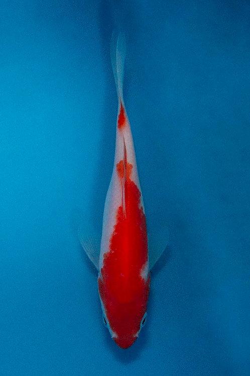 13cm Kohaku (Hirasawa)