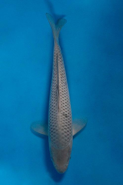 25cm Jumbo Soragoi (Okawa)