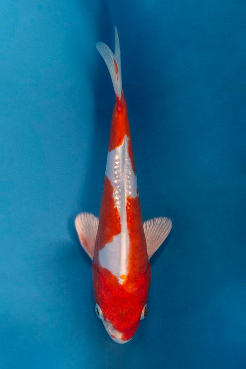 19cm Kikusui (NND)