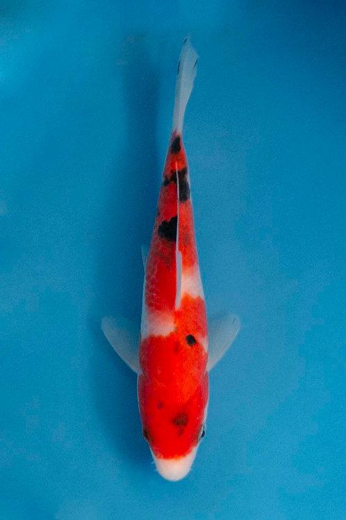15cm Sanke (Okawa)