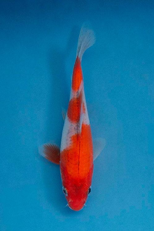 12cm Goshiki (Ikarashi Ozumi)