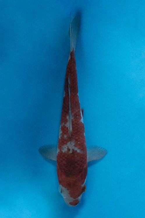 18cm Ochiba (Oofuchi)