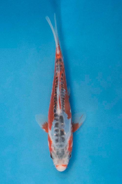 15cm Shusui (Tanaka)