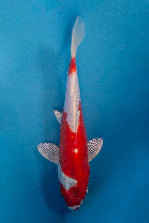15cm Kikusui (NND)