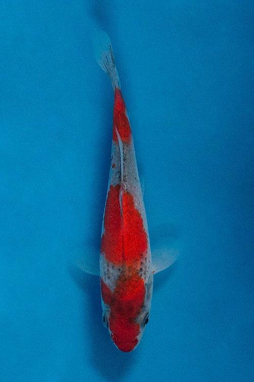 11cm Goshiki (Kawakami)