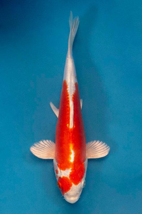 20cm Kikusui (NND)