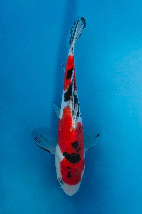 16cm Doitsu Sanke (Aokiya)