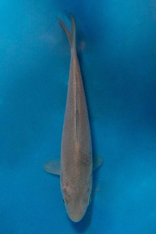 15cm Chagoi (Hirasawa)
