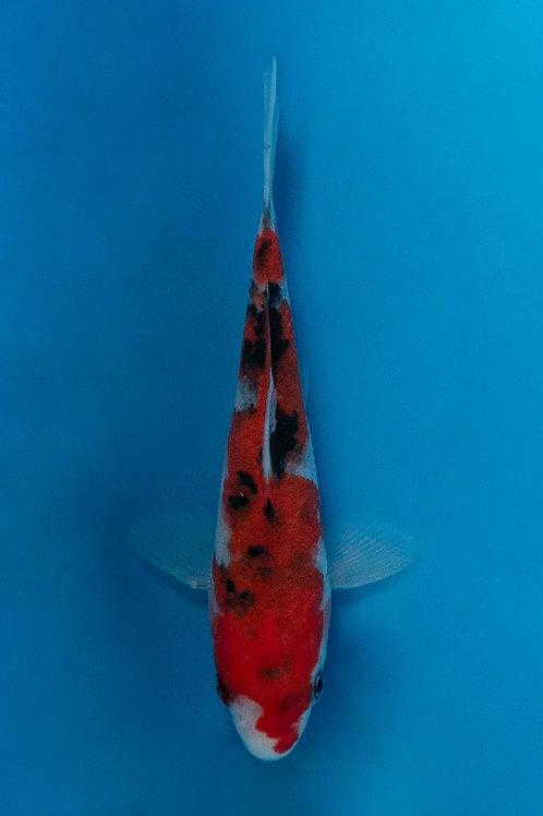 14cm Sanke (Hirasawa)