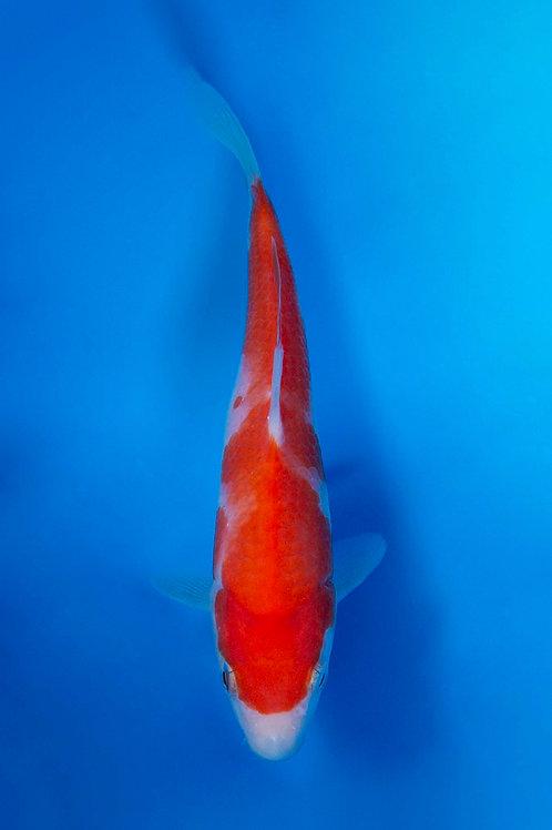 15cm Kohaku (Okawa)