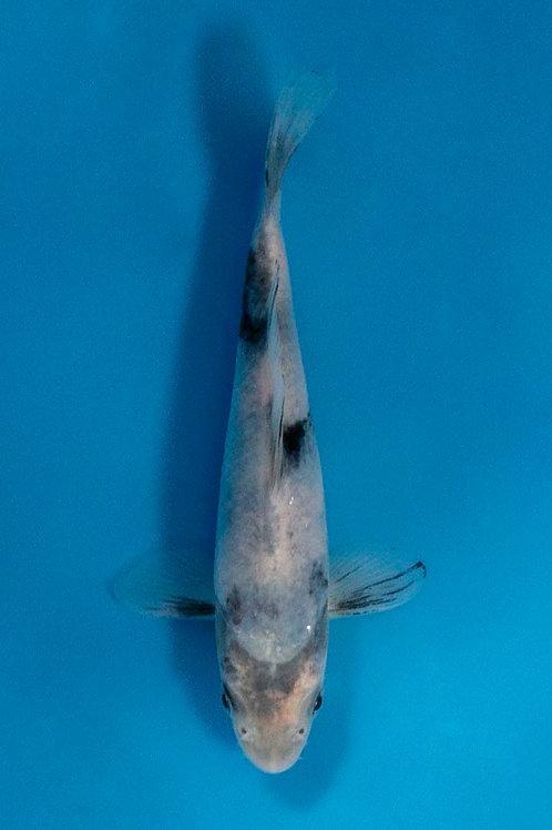 14cm Shiro Utsuri (Okawa)