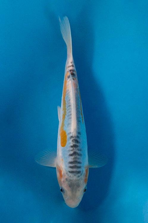 22cm Aya Wakaba (Marusaka)