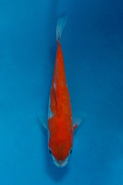 11cm Goshiki (Ikarashi Ozumi)