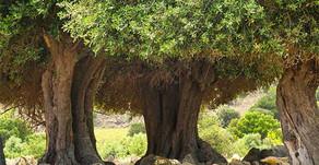 Ölmez Ağaç