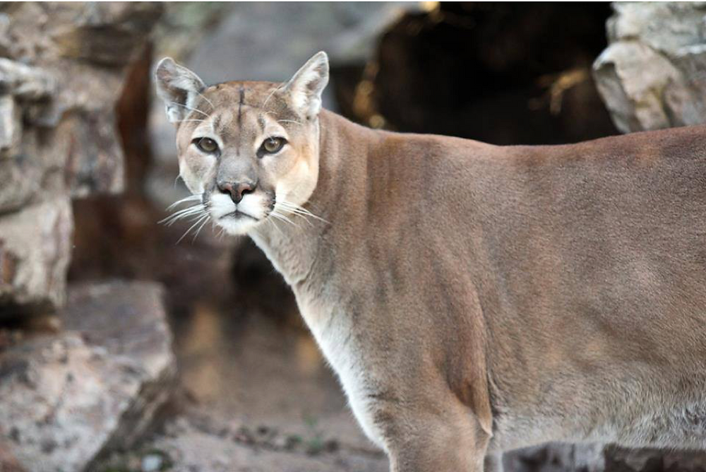 Mountain lion, Nittany lion, Penn's Cave in Central PA, Centre County Pennsylvania, cave, cavern, best things to do as a family, fun activities, fun activities for families, activities for all ages, things to try in PA