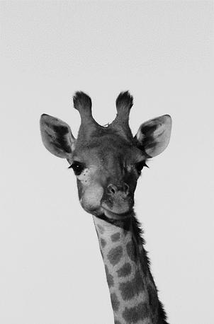 giraffe 1 april.png
