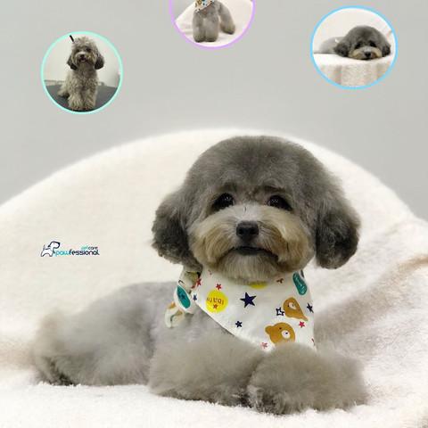 Bichon Poodle