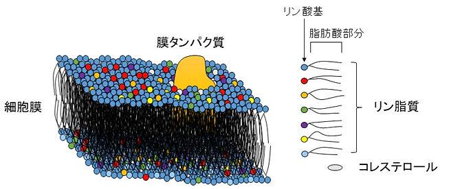細胞膜構造2