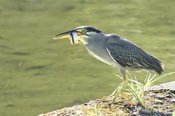 魚を咥えた鳥(あおさぎ?)