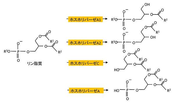 ホスホリパーゼ加水分解反応