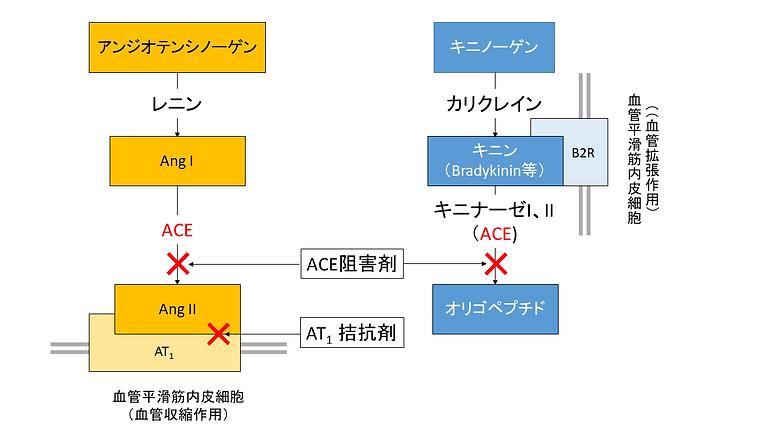 ACE作用機序図.png