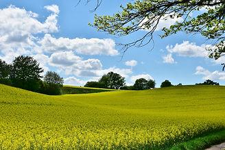 oilseed-rape-3363927_1920.jpg