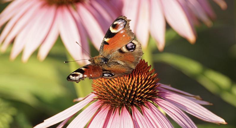 peacock-butterfly-3514955_1280.jpg
