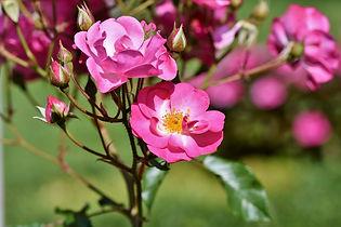 bush-rose-3561173_1280.jpg
