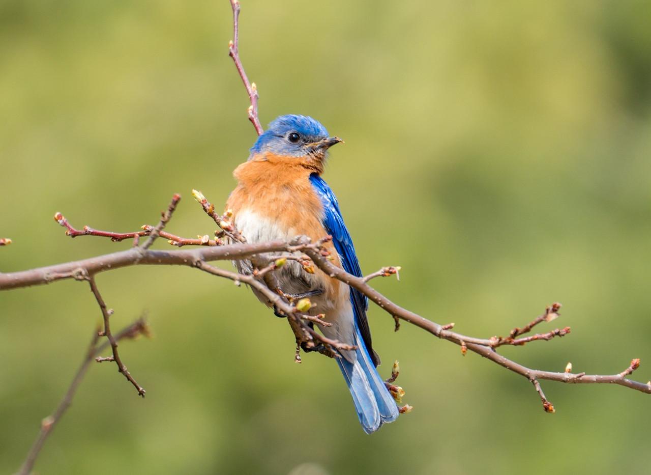 blue-bird-2958258_1280.jpg