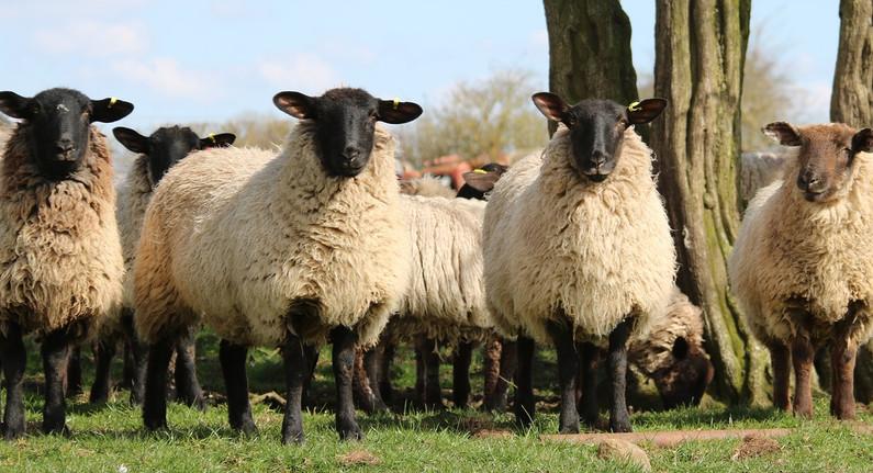 sheep-1306621_1280.jpg