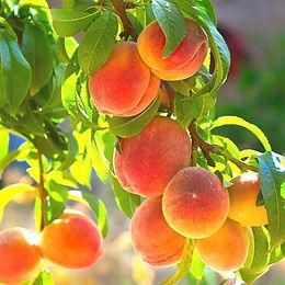 belle-of-georgia-fruit-600x600.jpg