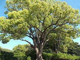 camphor-tree-gress-photo-may-2019.jpg