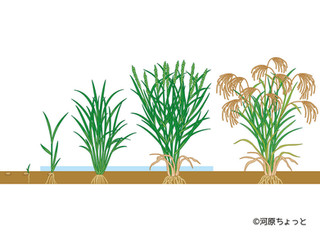 お米の大研究