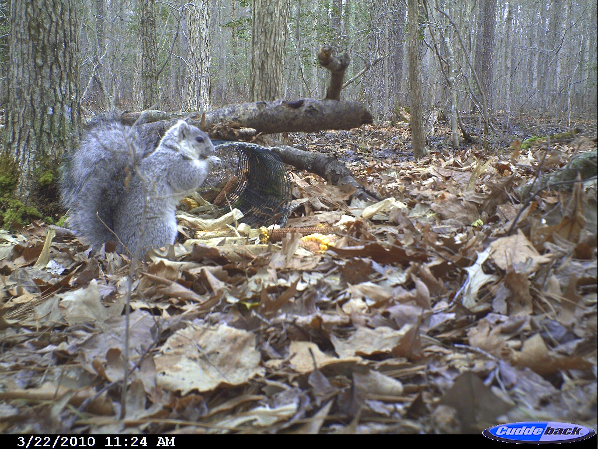 Delisting of Delmarva Fox Squirrel