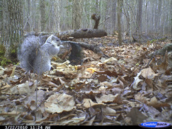 Delisting of Delmarva Fox Squirrel